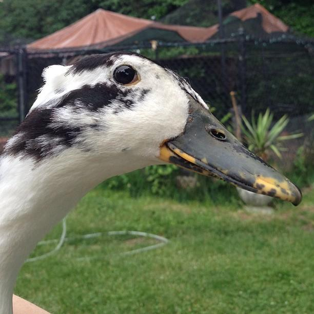 """Ruby Tuesday says hello. She's quite a sweet rescued duck. Full of energy."""