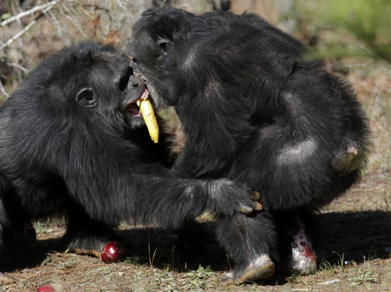 FILE - Two chimps tussle for food at Chimp Haven in Keithville, La., Tuesday, Feb. 19, 2013.