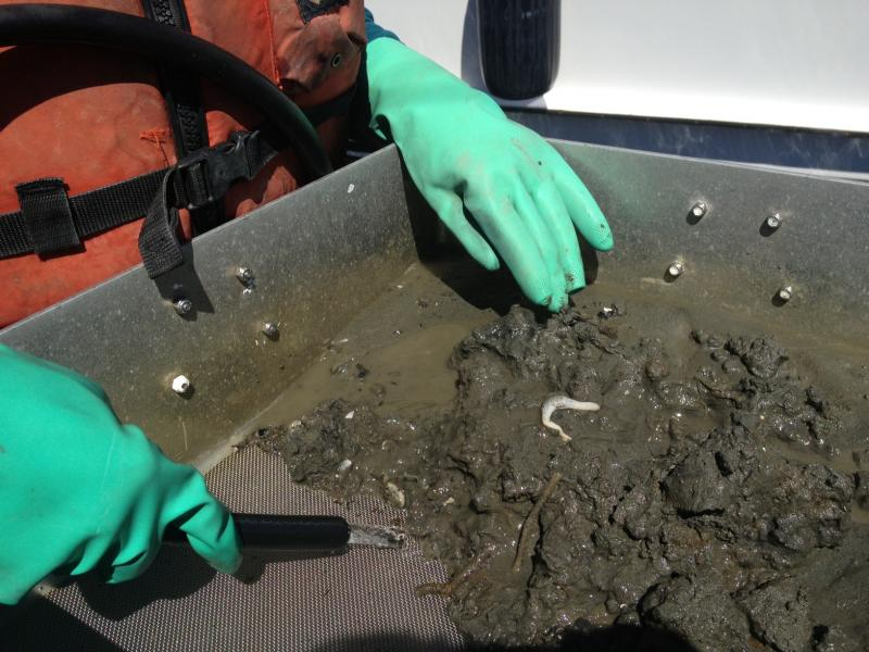 Environmental specialist and lead taxonomist Kathy Welch examines a sediment sample pulled from Elliott Bay. A new study of the sediments shows a dramatic decline in the health of benthic invertibrates over a ten-year period, despite lower toxin levels.