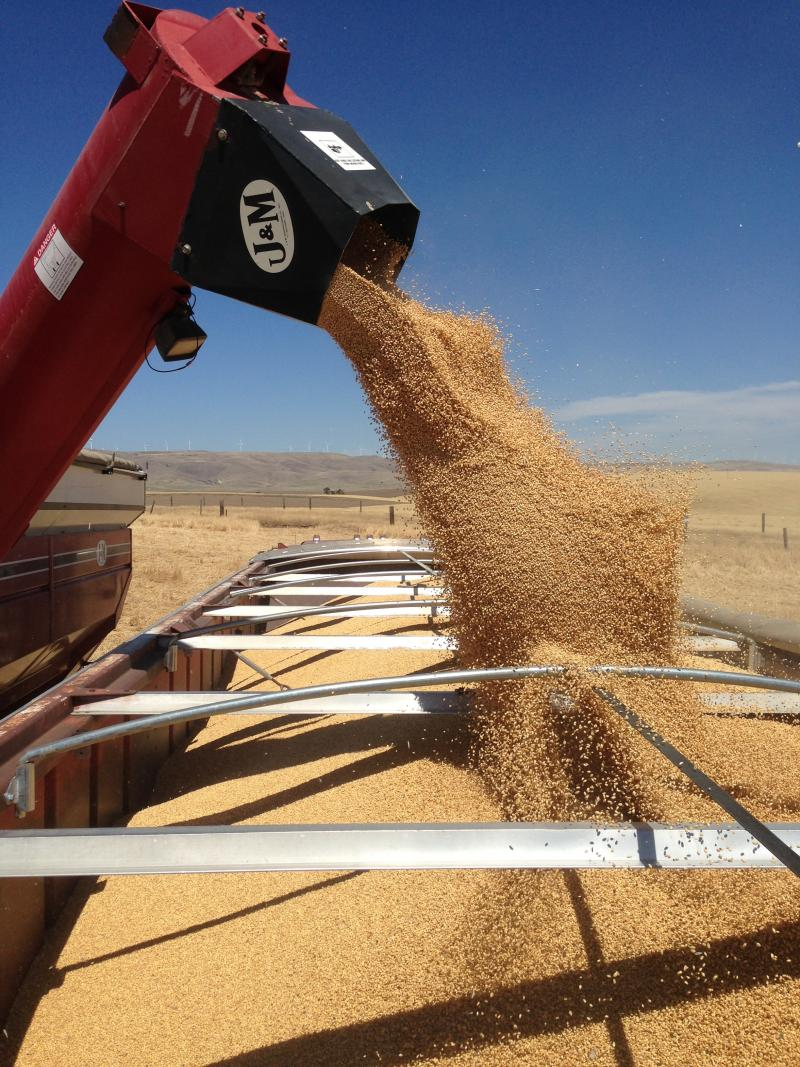 "A wheat combine offloads—or ""banks out""—into a waiting truck near Patterson, Washington."