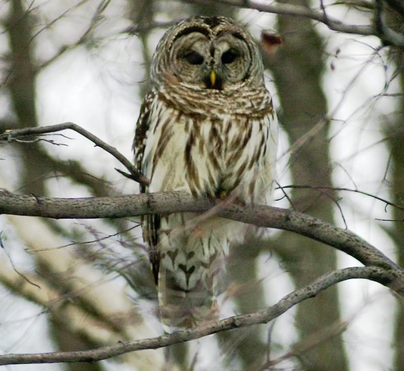 FILE - A barred owl sits on a branch in Calais, Vt., Saturday, Feb. 16, 2002.