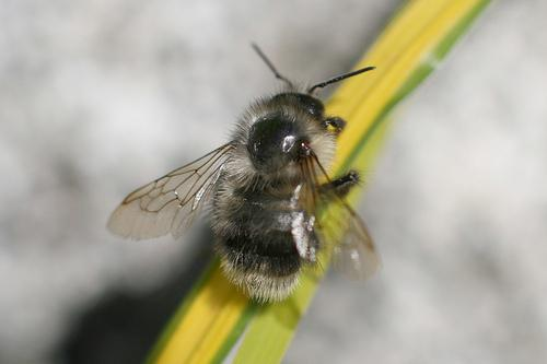 A Bombus Occidentlais bumblebee, also known as the Western Bumblebee. A queen was recently spotted for the first time in the Seattle area since the mid 1990s.