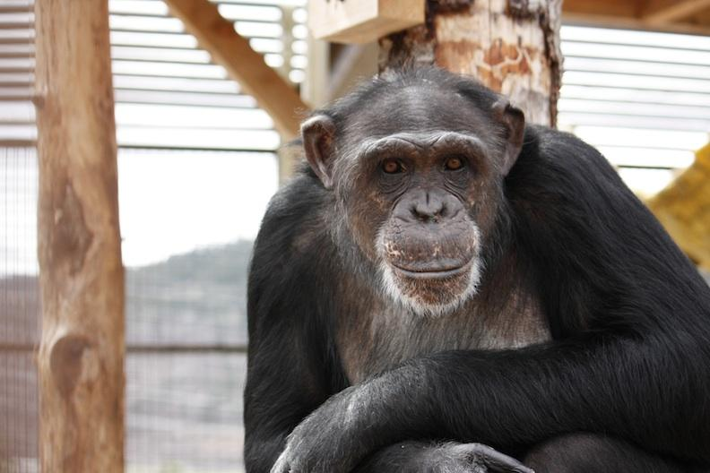 "Chimp artist Jamie is said to be ""the non-human boss"" of Chimpanzee Sanctuary Northwest."