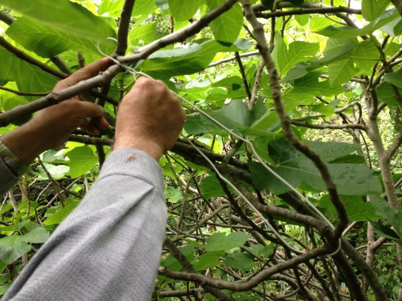 Urban fig farmer Bill Farhat.