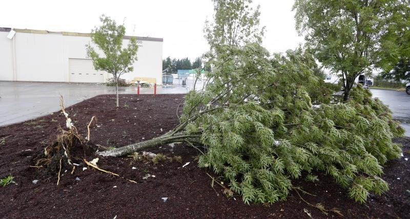 An uprooted tree lies on the ground at Northwest Door in Puyallup, Wash., Monday, Sept. 30, 2013.