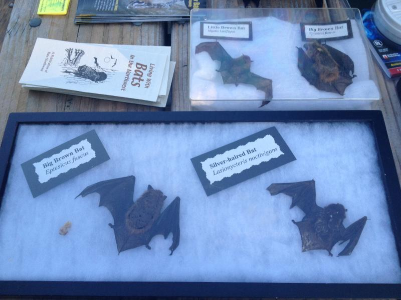 Samples of common NW bats, preserved after they were turned in to health authorities for testing.