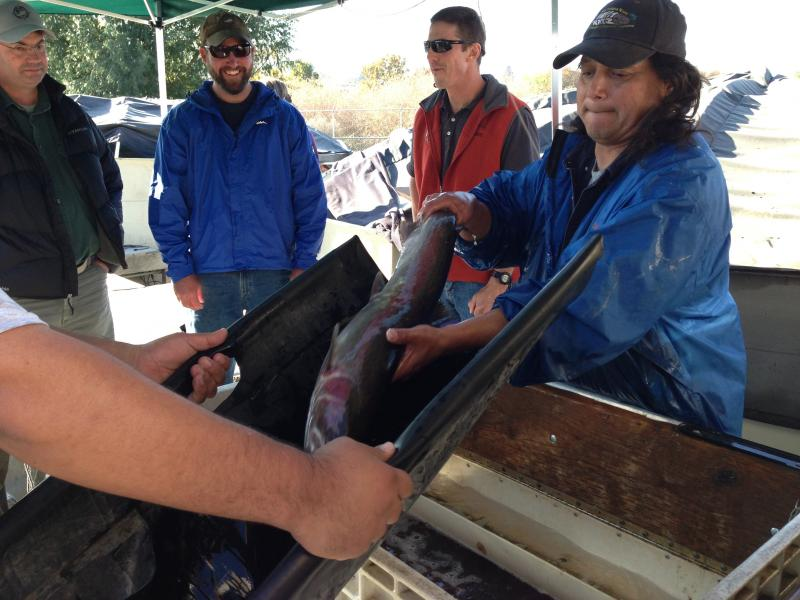 Joe Blodgett, right, with the Yakama Nation's steelhead rehabilitation center, lifts a fish out a tub where they're fed highly nutritious pellets.
