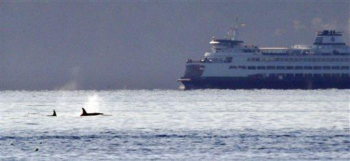 A pair of orca whales swim in view of a state ferry crossing from Bainbridge Island toward Seattle in the Puget Sound Tuesday, Oct. 29, 2013, as seen some miles away from Seattle.