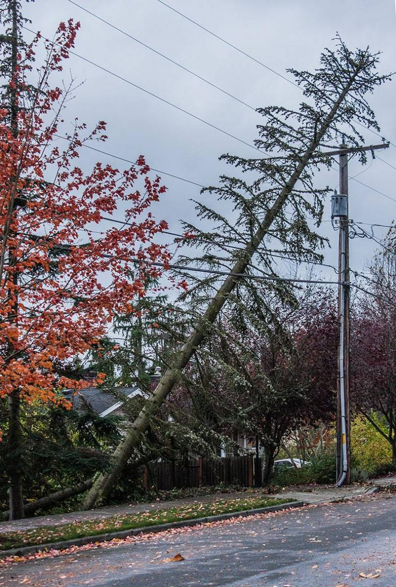 Saturday's wind storm knocked over a tree into power lines in Kirland, Wash.