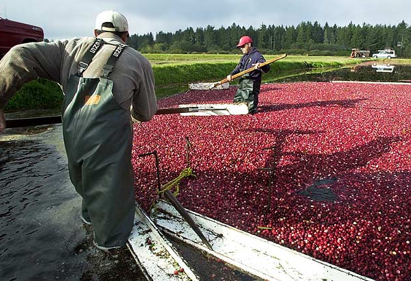 A worker at Cranguyma Farms in Long Beach, Washington, uses a wooden paddle to keep floating cranberries moving.
