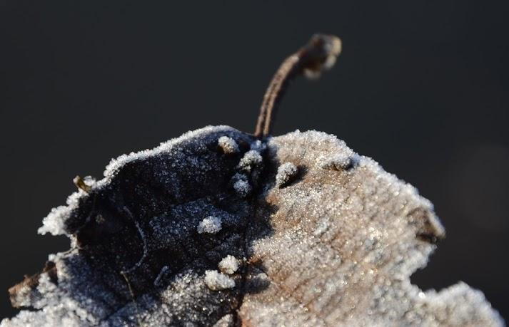 New Zealand Mud snails frozen on a decaying leaf from the lake bottom. Algea and organic detritus are their preferred foods.