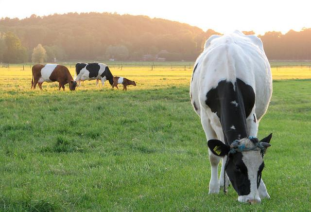 Cows who graze on grass and pasture forage may give milk with healthier fats than conventionally raised cattle.