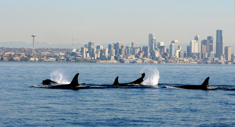 FILE - In this file photo provided by the National Oceanic and Atmospheric Administration (NOAA) and shot Oct. 29, 2013, orca whales from the J and K pods swim past a small research boat on Puget Sound in view of downtown Seattle.