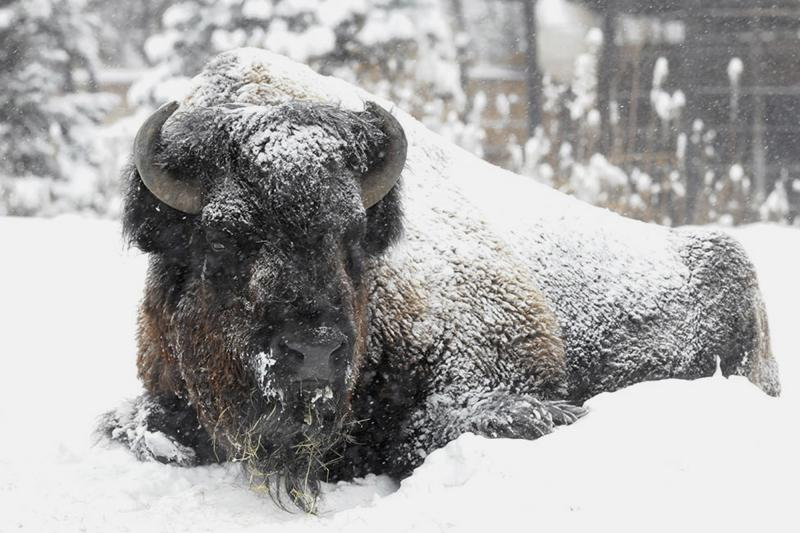 In this Sunday, Jan. 5, 2014 photo, Ron, a bison at Brookfield Zoo, is covered in snow and doesn't seemed phased by the frigid temperatures or snow blowing through the Chicago area.