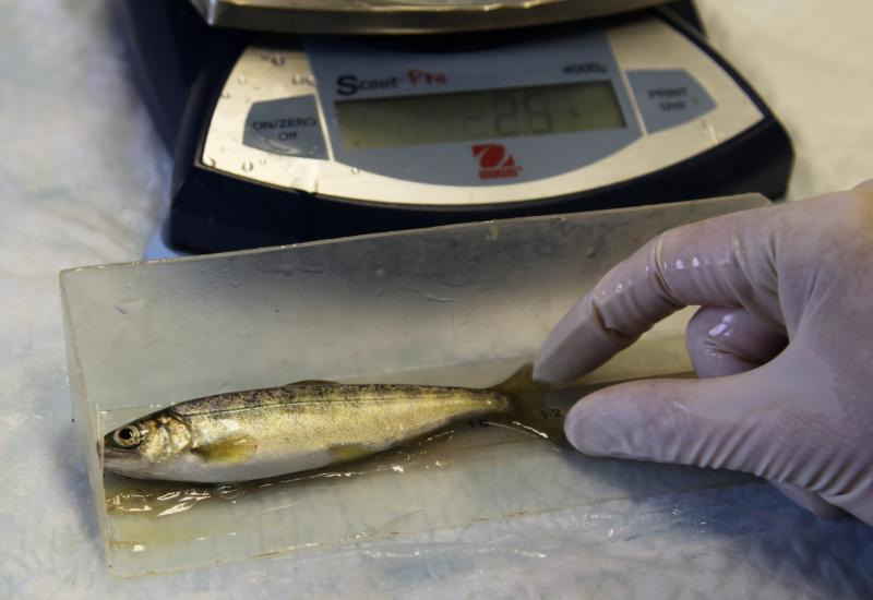 In this photo taken on Tuesday Feb. 4, 2014, at a hatchery in Parkdale, Ore., a hatchery worker measures and weighs salmon as part of a study to track their growth.