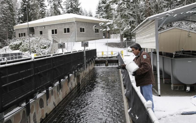 In this photo taken on Tuesday Feb. 4, 2014, at at a hatchery in Parkdale, Ore., hatchery technician Keith Moody feeds about 30,000 salmon smolts in a rearing pond.