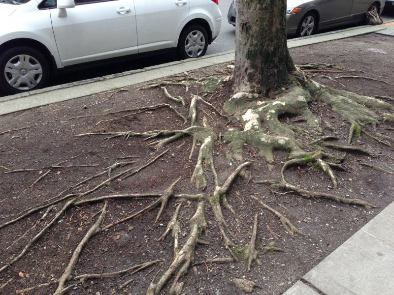 Younger trees can cause hazards because of poor planting conditions, such as here. The soil is too shallow.