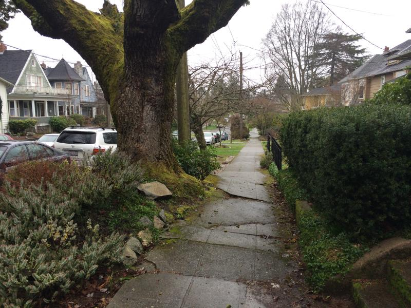 Older trees that once fit the parking strip sometimes break through sidewalks