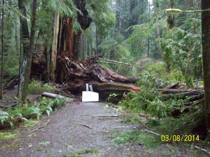 """""""Kalaloch cedar,"""" after the storm."""
