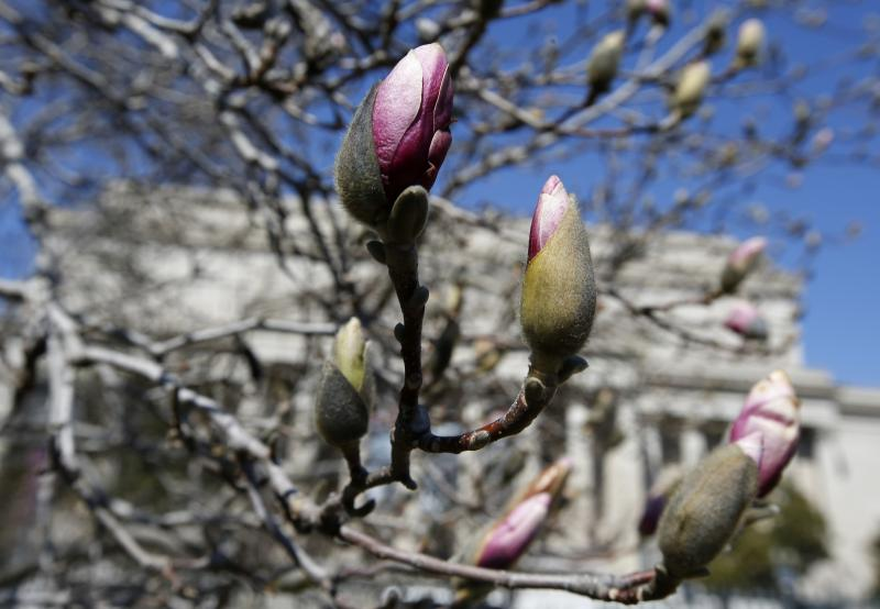 Pink buds are seen on a tulip tree in the National Gallery Sculpture Garden in Washington, Thursday, March 20, 2014, on the first day of spring.