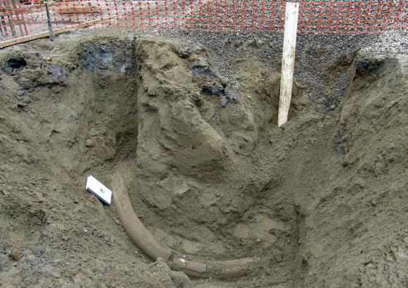 This image provided by the Burke Museum and taken on Tuesday, Feb. 11, 2014, shows what museum officials believe is mammoth tusk that was uncovered by construction workers in the south Lake Union area of Seattle.
