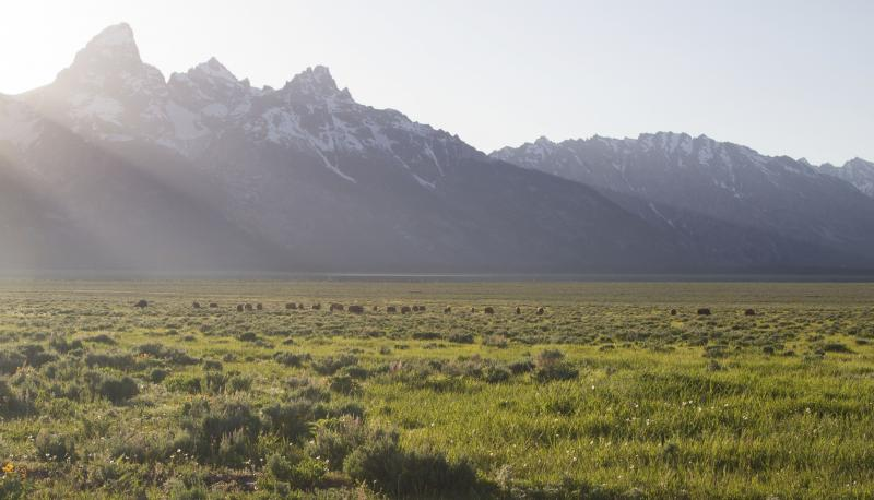 This photo provided by Grand Teton National Park, Bison graze recently on a square-mile section of state land within the boundaries Grand Teton National Park, Wyo., Tuesday, July 9, 2013.