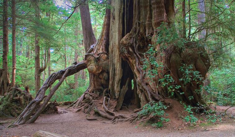 """Kalaloch cedar,"" before the storm."