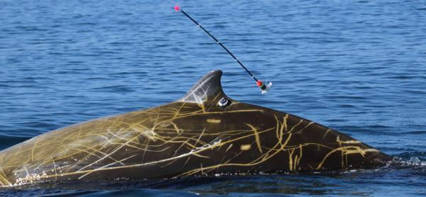 Satellite tag being attached to the dorsal fin of a Cuvier's beaked whale. The tagging arrow can be seen in the air as it detaches from the tag.
