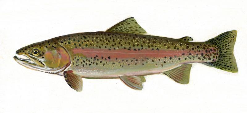 The rainbow trout is an incredibly versatile and widespread fish.