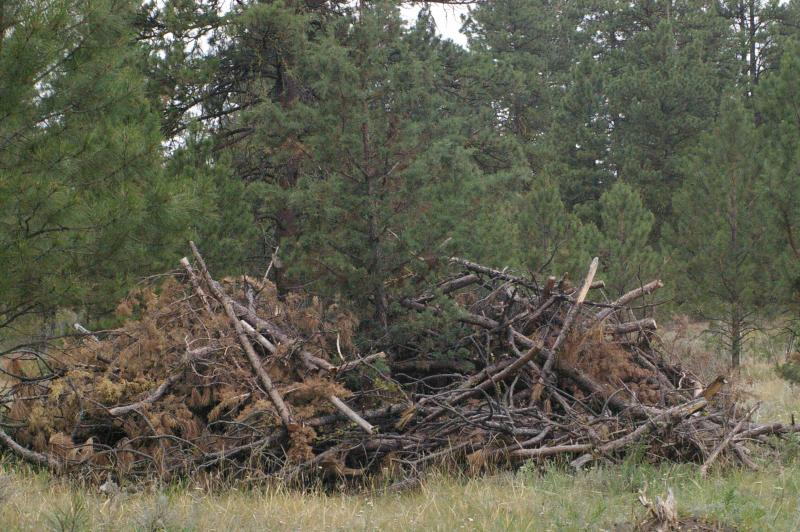 Slash piles of woody debris in Northwest forests are seen as a promising new source of feedstock for low-emission biofuels.