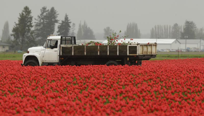 In this photo taken Wednesday, April 16, 2014, flowers and plants removed from a tulip field are tossed in a truck near Mount Vernon, Wash.