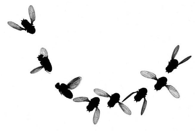A fruit fly executes an agile banked turn with just the subtlest wing motion.