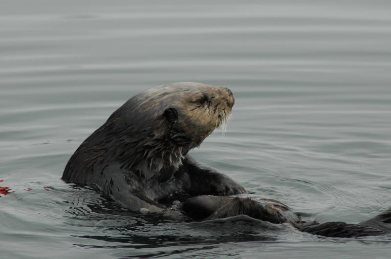 Unfortunately, one of the few things humans share with sea otters is the flu virus.