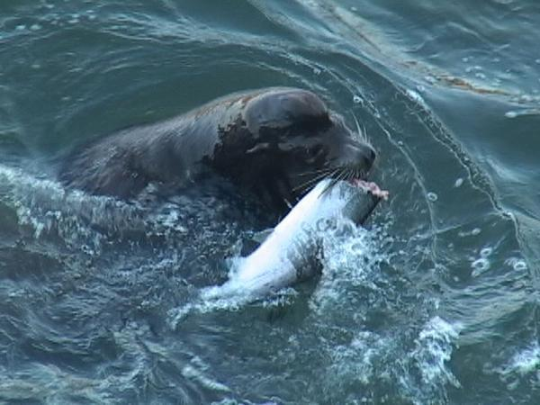 This file photo shows a California sea lion consuming a salmon just below the Columbia River's Bonneville Dam.