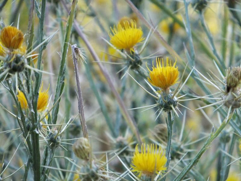 Yellow starthistle is one of 50 plants and animals that the Washington Invasive Species Council is trying to keep track of.