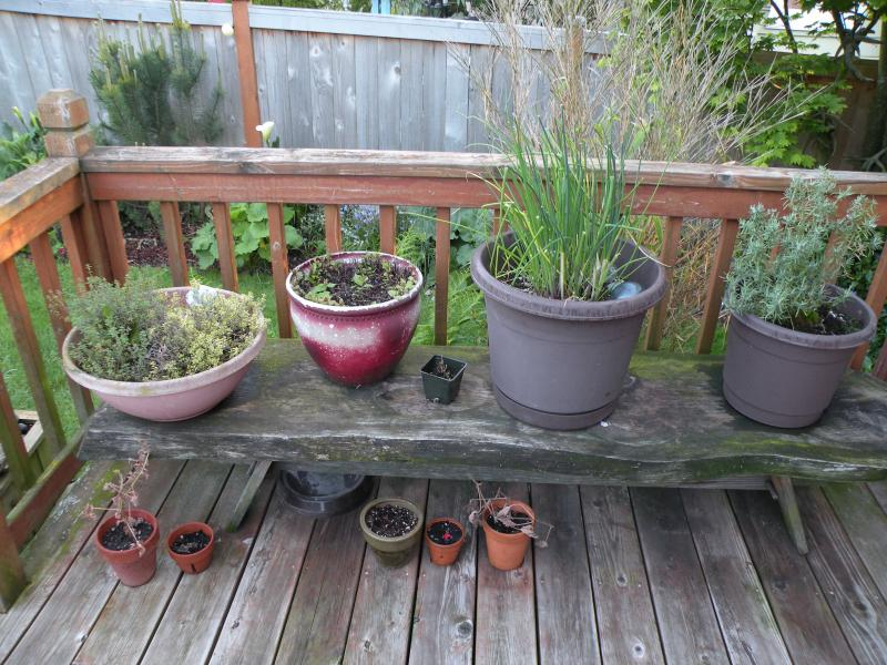 Ragged but right and mere footsteps away from the Stein kitchen. L-R: English and lemon thyme,  mint,  chives and rosemary.