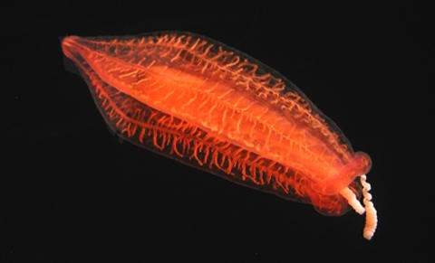 Comb jellies may actually represent the first branch on animals' evolutionary tree.