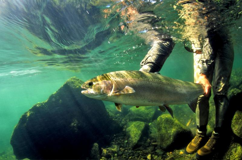 This undated photo provided by Oregon Department of Fish and Wildlife shows a steelhead in the Lower Deschutes.