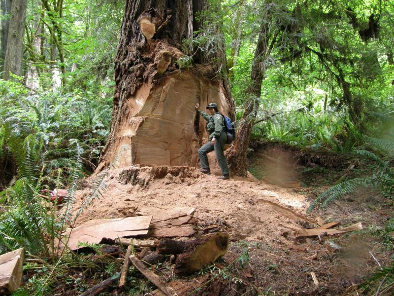 This file photo provided by the National Park Service shows a wildlife biologist standing next to a massive scar where a burl has been cut by poachers from an old growth redwood tree in the Redwood National and State Parks.