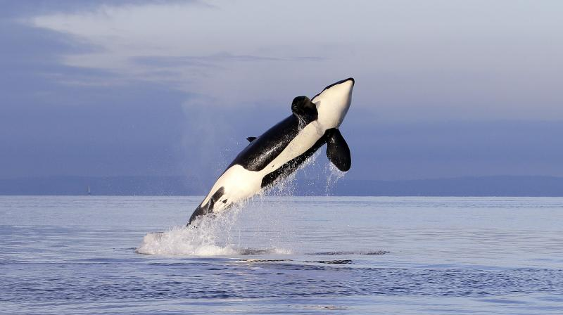 An endangered female orca leaps from the water while breaching in Puget Sound west of Seattle, as seen Saturday, Jan. 18, 2014 from a federal research vessel that has been tracking the whales.