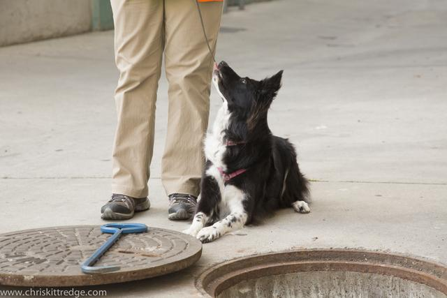 Molly, a border collie trained by Environmental Canine Services, can sniff out human fecal coliform bacteria in water samples. She recently worked for King County at creeks in Seattle and Kirkland.