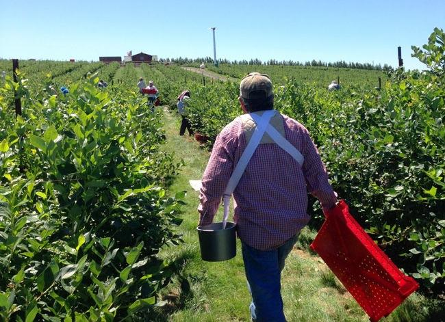 This file photo shows workers at a berry farm outside of Eltopia, Washington.