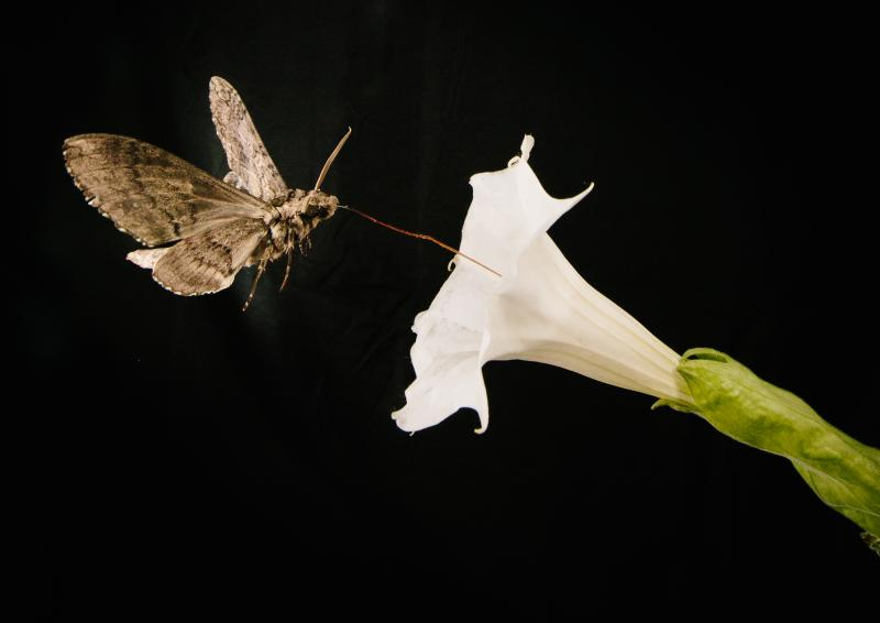 A pollinating moth Manduca sexta, this one with a wing span of about 4 inches, feeds from a Sacred Dutura, or Datura wrightii, flower.