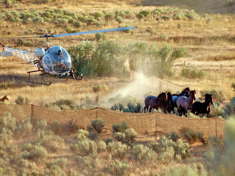 This file photo shows the August 2010 Wild Horse Gather by the Bureau of Land Management at the Stinkingwater Herd Management Area near Burns, Oregon.