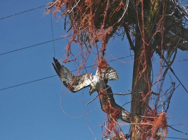 This is how ospreys' unhealthy affinity for baling twine can kill. Idaho Fish and Game biologist Beth Waterbury rescued this osprey in the nick of time.