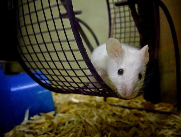 Mice without a functioning dorsal medial habenula didn't feel like running in their wheels.