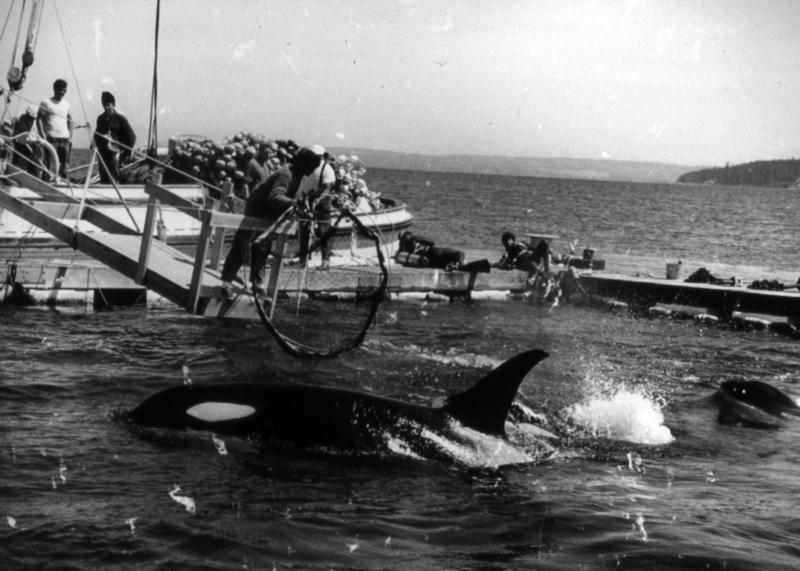 In this Aug. 8, 1970, photo provided by Wallie Funk, members of a pod of orca whales are held captive in Penn Cove, in the waters off Whidbey Island, Wash.
