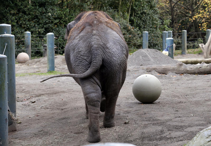 Bamboo, a 48-year-old Asain Elephant who has lived most of her like at Woodland Park Zoo. The zoo is preparing her and the other Asain Elephant, Chai, for a move to Oklahoma City Zoo.