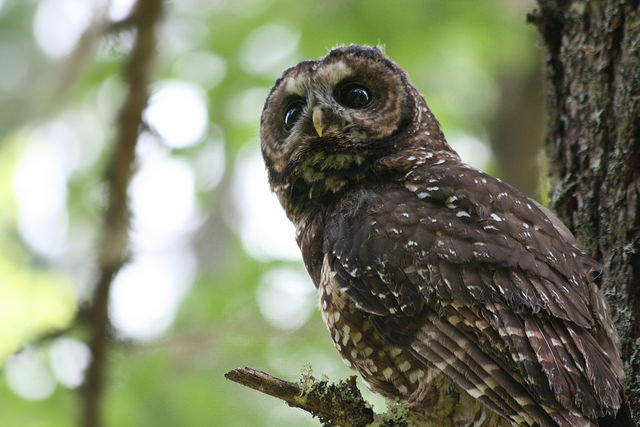 The Northern Spotted Owl, designated as threatened since 1990, continues to decline.