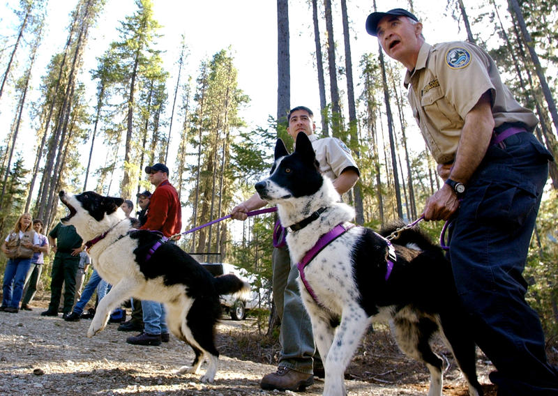 Karelian bear dogs Tuffy, left, and Mishka get ready to run as they're held back by state wildlife biologists Rocky Spencer, right, and Rich Beausoleil during a bear-chasing training session in 2004 at Lake Wenatchee State Park, near Leavenworth, WA.